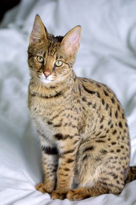 Savannah (Cats vs Dogs (Choose ur side))